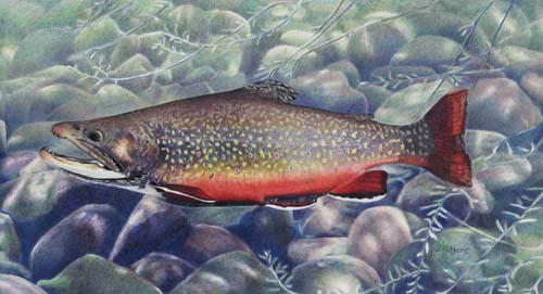 """Bill's Brookie"" Drawing Based on Bill McManis' Tropy Brook Trout"