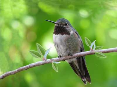 Improved Hummingbird Composition